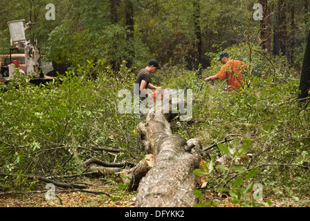 Cutting up felled trees into smaller pieces for removal. - Stock Photo
