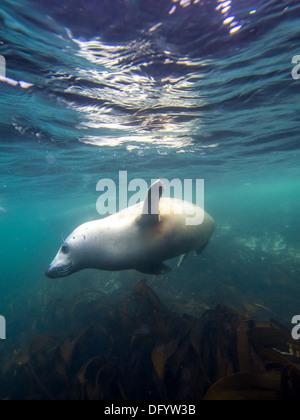 Underwater picture of grey seal ( Halichoerus grypus ) diving in Norh Sea, Farne Island - Stock Photo