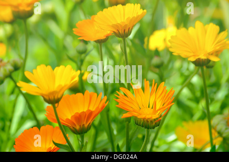 Close up of marigold flowers in the garden, selective focus - Stock Photo