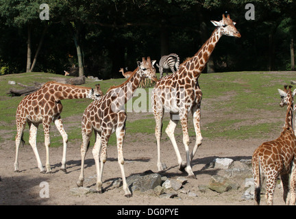 Group of Rothschild's giraffes a.k.a. Baringo or Ugandan giraffe (Giraffa camelopardalis) on the Savanna of Emmen - Stock Photo
