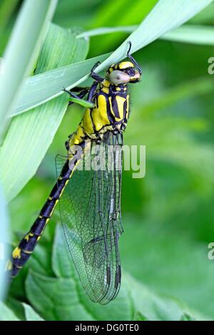 Emerging Common Clubtail, Gomphus vulgatissimus clings to grass Grey eyes will change to olive or brown color as - Stock Photo