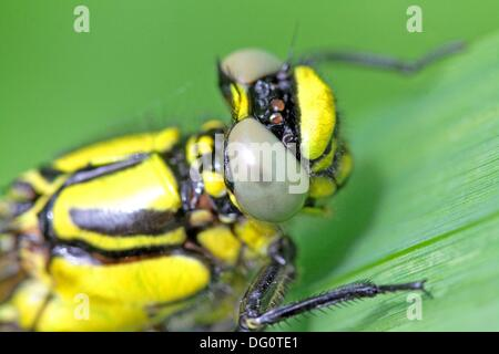 Emerging Common Clubtail, Gomphus vulgatissimus on grass Head Eyes grey Males will turn green as they mature Wings - Stock Photo
