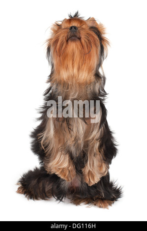 Yorkshire Terrier stands on hind legs and looks up - Stock Photo