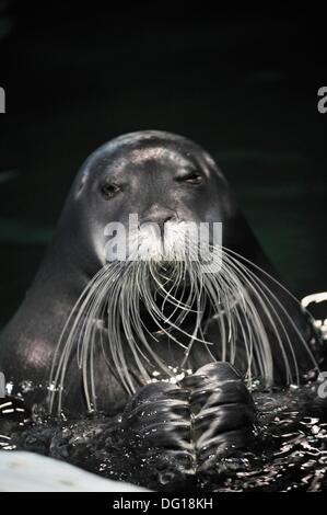 Bearded Seal, Polaria, Arctic museum and exhibitions center Tromso County of Troms, Norway, Northern Europe - Stock Photo