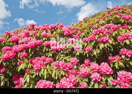Close up of colorful pink rhododendron blossoms in Ireland, Europe - Stock Photo