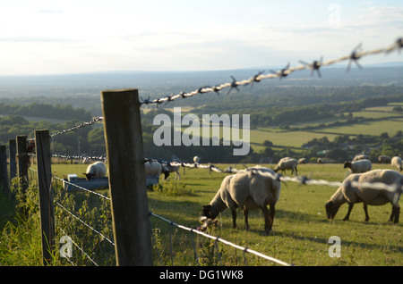 Sheep grazing on the Sussex Downs England - Stock Photo