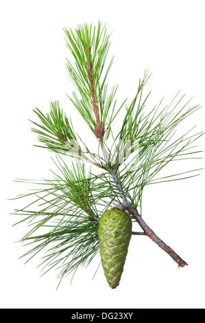 Spruce branch with green cone on a white background - Stock Photo