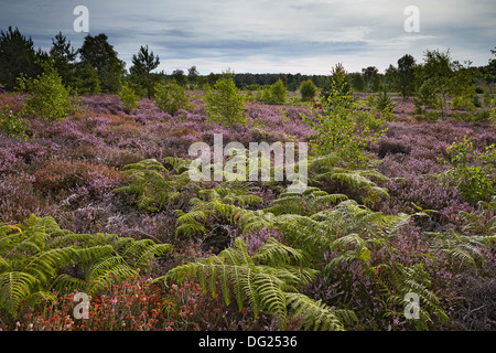 Heather heathland, Iping Common, West Sussex - Stock Photo