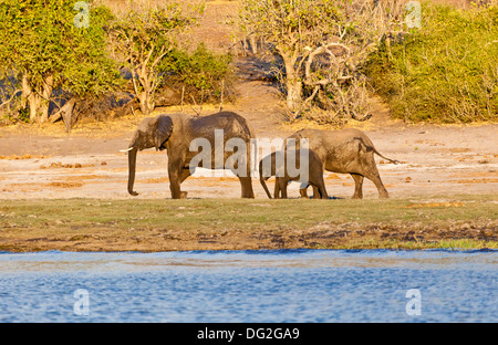 A breeding herd of African elephants (Loxodonta africana) by the banks of the River Chobe in Botswana - Stock Photo