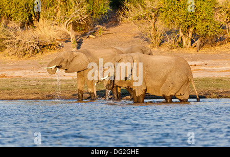 A breeding herd of African elephants (Loxodonta africana) drinking by the banks of the River Chobe in Botswana - Stock Photo