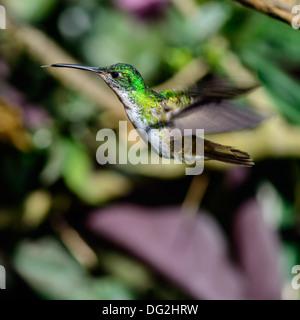 Hummingbird in flight, ecuador cloud forest - Stock Photo