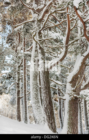 Snow on trees in Strathdon in Aberdeenshire,Scotland - Stock Photo