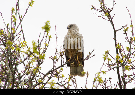 Marsh Harrier [Circus aeruginosus] Male perched in tree above waterway between Horsey Mere and Hickling Broad. Norfolk - Stock Photo