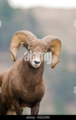 Rocky Mountain bighorn sheep ram (Ovis canadensis canadensis) on Wildhorse Island in Flathead Lake Montana - Stock Photo
