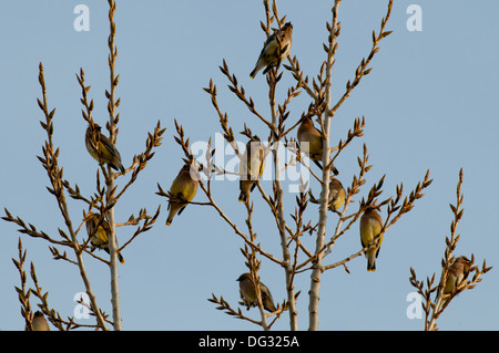 Twelve cedar waxwings perched in a tree - Stock Photo