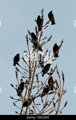 Flock of European starlings (Sturnus vulgaris) perched in tree - Stock Photo