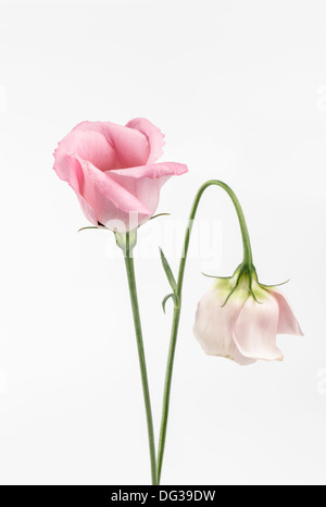 Two pink Eustoma, Lisianthus - Stock Photo