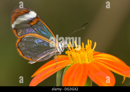 A 'Glass Wing' butterfly feeds from a flower in a butterfly house in Somerset - Stock Photo