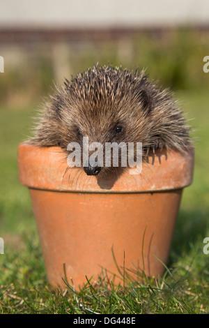 Hedgehog (Erinaceus europaeus), in plant pot, captive, United Kingdom, Europe - Stock Photo