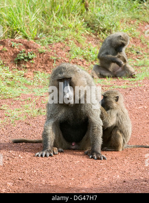 Young olive Anubis baboon grooming the alpha male Papio anubis Cercopithecinae Akagera National Game Park Rwanda - Stock Photo