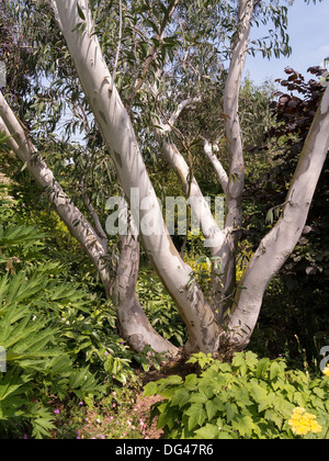 White bark and trunks of Eucalyptus Paciflora Niphophila tree growing in Barnsdale Gardens, Rutland, England, UK - Stock Photo