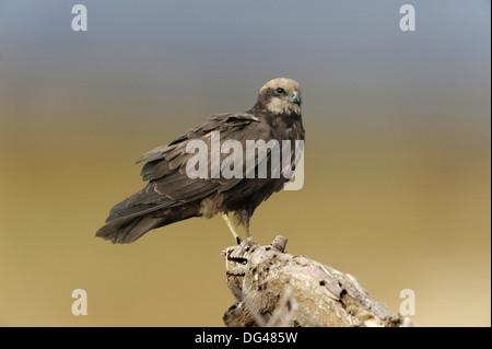 Marsh Harrier Circus aeruginosus - Stock Photo