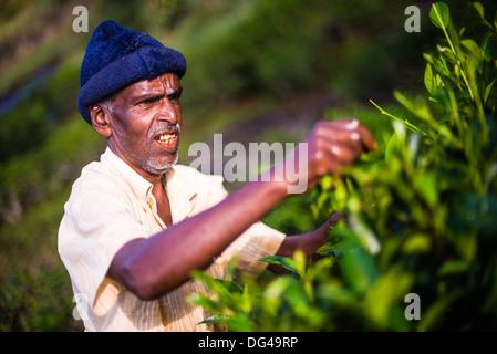 A male tea picker picking tea in the Sri Lanka Central Highlands, Tea Country, Sri Lanka, Asia - Stock Photo