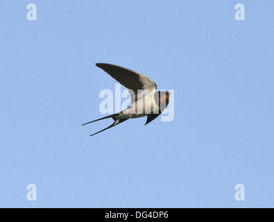 Swallow (Hirundo rustica) in flight catching insects ...