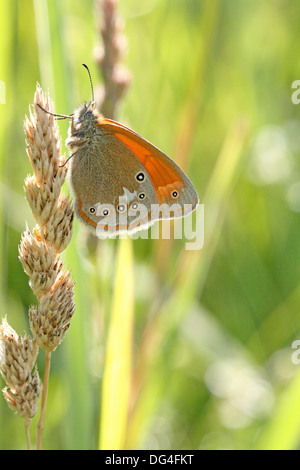 Chestnut Heath, Coenonympha glycerion hangs on dried grass in the late evening - Stock Photo
