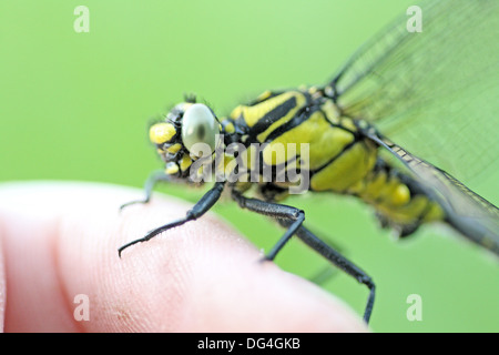 Emerging Common Clubtail, Gomphus vulgatissimus on photograper´s finger  From side  Head and thorax  Male  Grey - Stock Photo