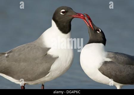 Laughing Gull - Larus atricilla - Stock Photo