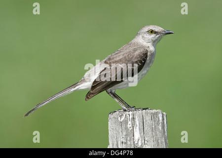 Northern Mockingbird - Mimus polyglottos - Stock Photo
