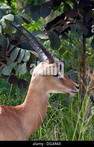 Young male Impala Aepyceros melampus gazelle immature antlers Southern Akagera National Game Reserve/Park Rwanda - Stock Photo