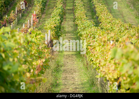rows of grape vines at harvest time at the Stapley family run Redyeates Vineyard near Crediton, Devon - Stock Photo
