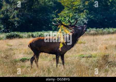 Red deer stag roaring or bellowing during the rutting season in Richmond Park. - Stock Photo