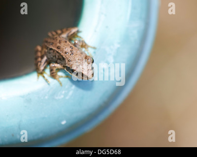 Common Frog - juvenile. - Stock Photo