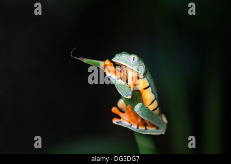 Golden-eyed Leaf Frog (Cruziohyla calcarifer) clinging to plant stem - Stock Photo