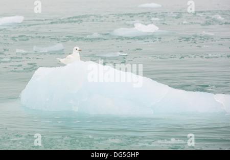 An Ivory Gull (Pagophila eburnea) on an iceberg in northern Svalbard in the high Arctic - Stock Photo
