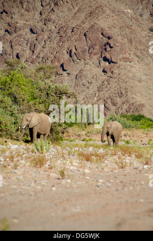 Group of elephants eating in a river bed in the Skeleton Coast Desert, Namibia - Stock Photo