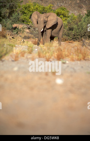 Elephant eating in a river bed in the Skeleton Coast Desert, Namibia - Stock Photo