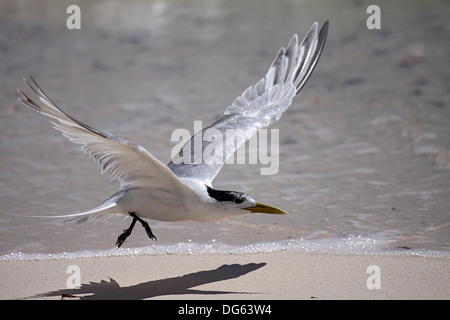 Greater crested or Swift tern taking off from shore of Bird Island Seychelles - Stock Photo
