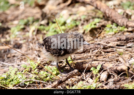 Sooty tern chick in The Seychelles - Stock Photo