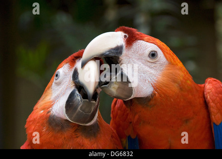 Scarlet Macaw (Ara macao), Macaw Mountain Bird Park, Copan Ruinas, Honduras - Stock Photo