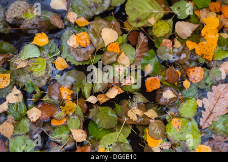 Colorful autumnal leaves float in still lake water - Stock Photo
