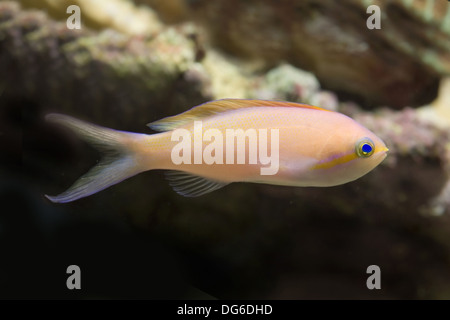 threadfin anthias, nemanthias carberryi - Stock Photo