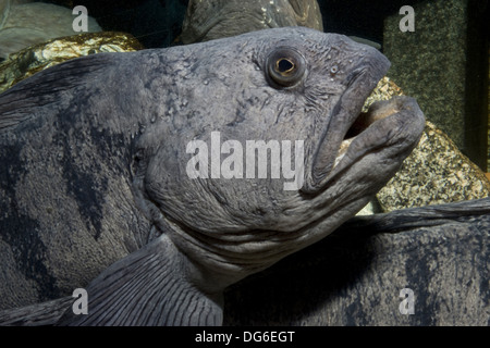 atlantic wolffish, anarhichas lupus - Stock Photo