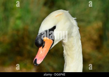 Swan head portrait - Stock Photo
