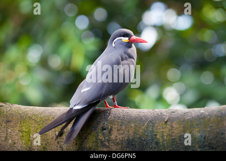 A healthy Inca Tern rests on a branch. These birds are native to Peru and Chili. - Stock Photo