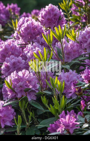 Flowering Common rhododendron / pontic rhododendron (Rhododendron ponticum) showing purple flowers - Stock Photo