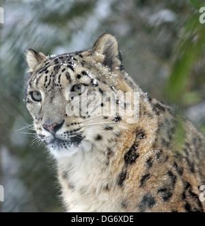 Schneeleopard,Snowleopard - Stock Photo